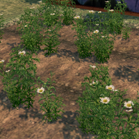 Chamomile (Homestead) on Homestead.png
